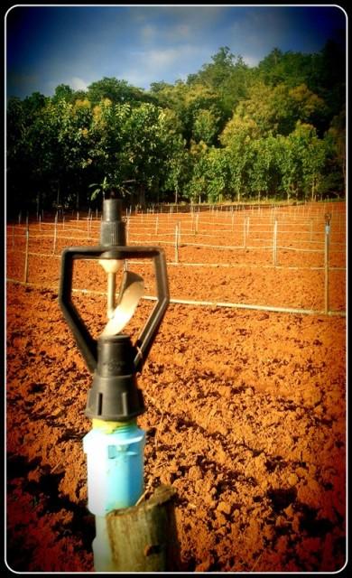 ที่นี่ จะใช้ระบบน้ำสปริงเกอร์ ในการให้น้ำซะส่วนใหญ่